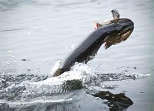Pike on Popper Fun  fishing  ( kijk uit niet voor hart patiënten ) !!!!!